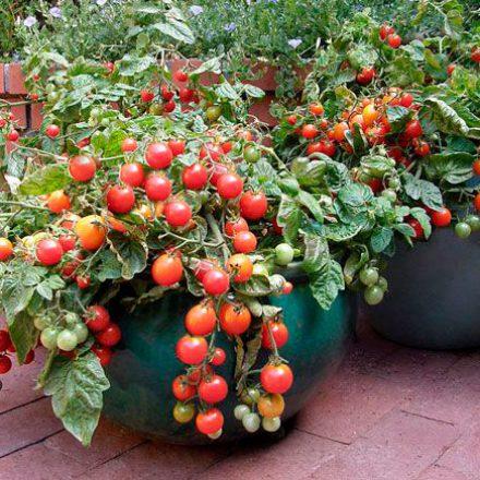 Guía para plantar tomates en casa