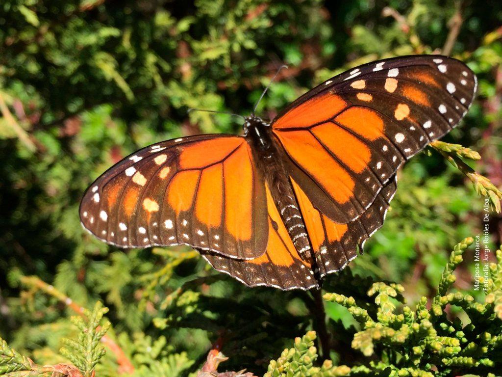 Maravíllate con los majestuosos santuarios de la mariposa monarca en Michoacán