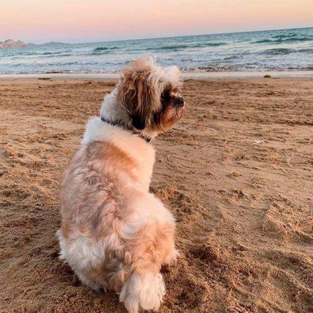 10 beneficios de tener un perro Shih Tzu