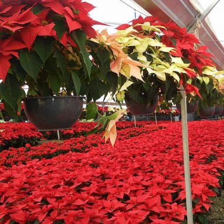 Nochebuena: Un regalo navideño de México para el mundo