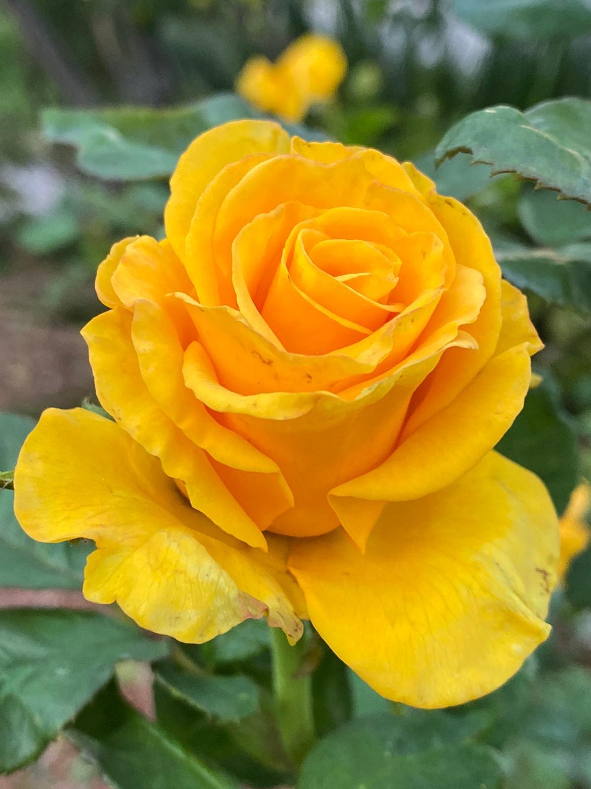 rosa amarilla Luis Fernando Heras Portillo