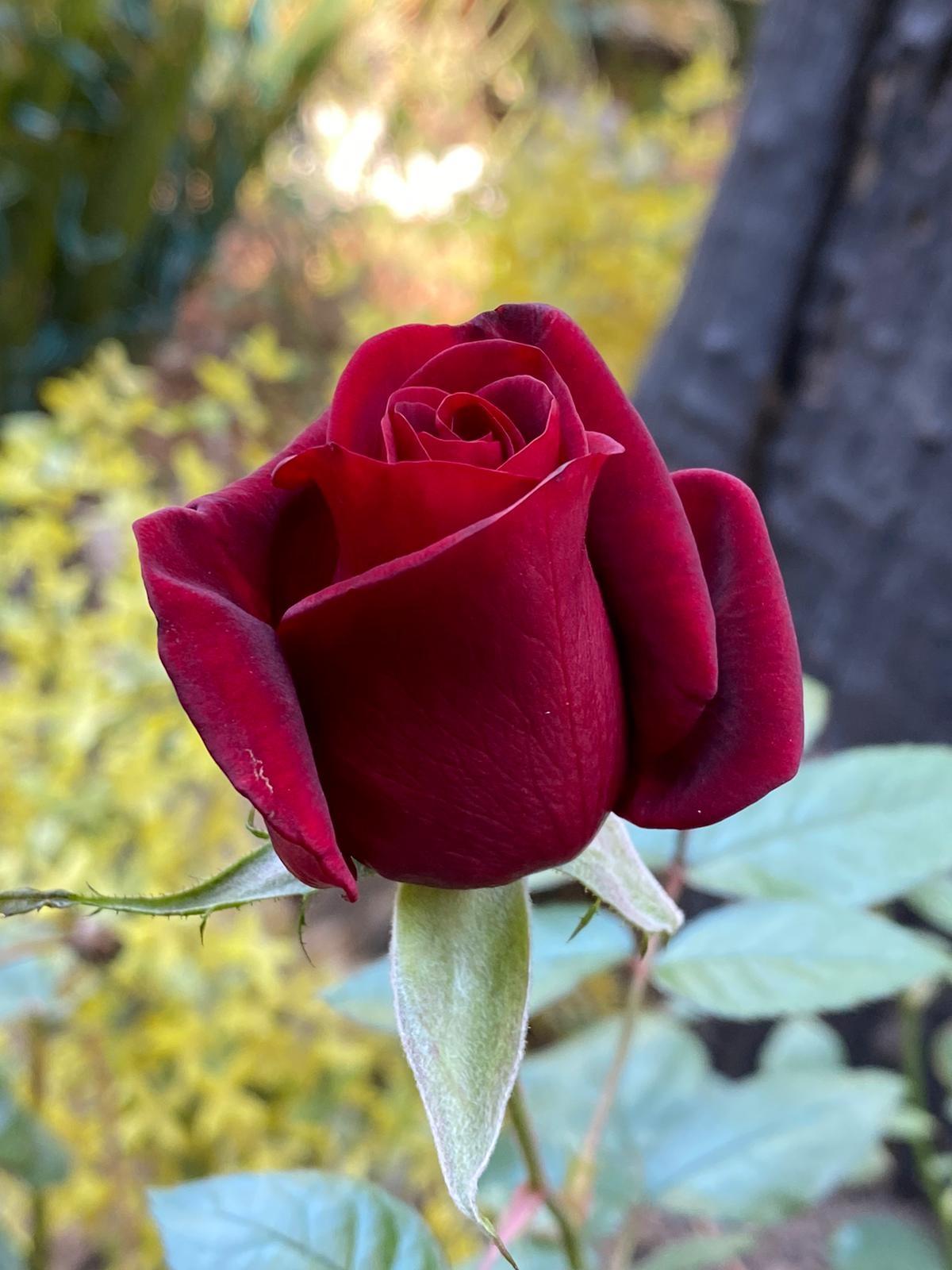 rosal Por Luis Fernando Heras Portillo