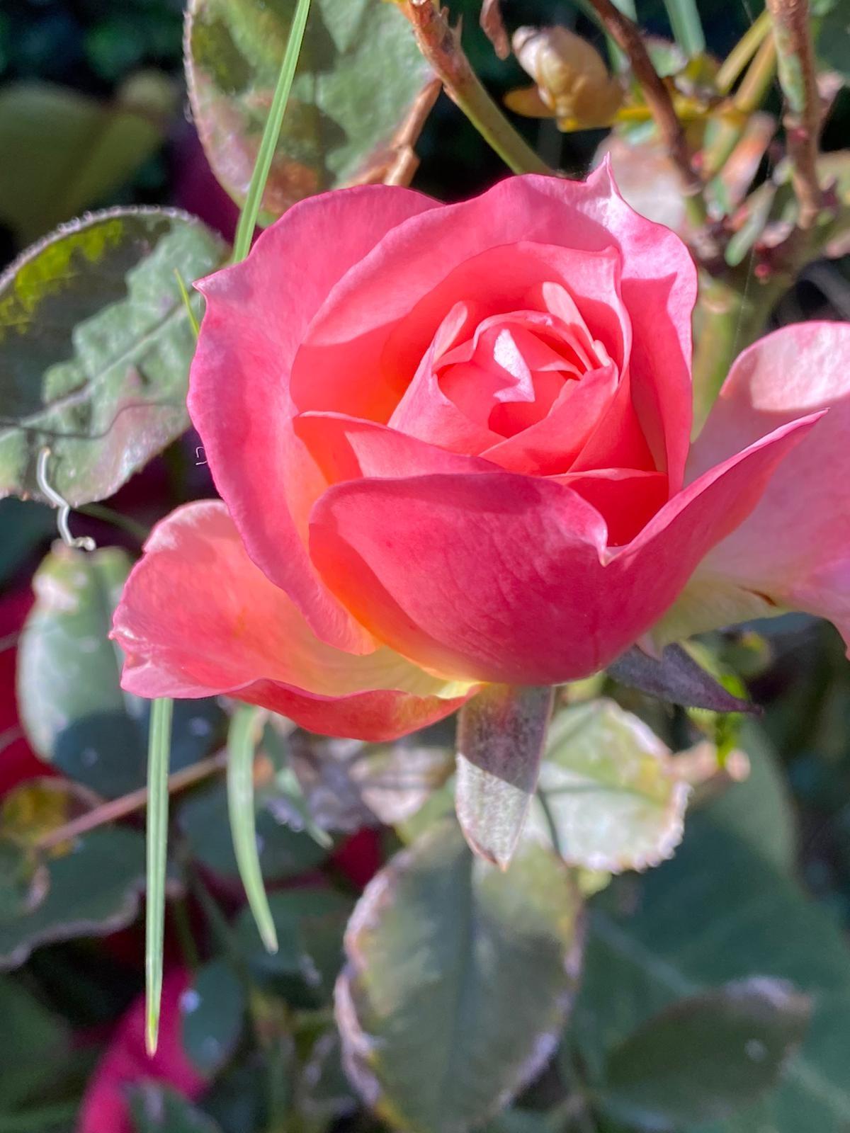 Rosa Por Luis Fernando Heras Portillo
