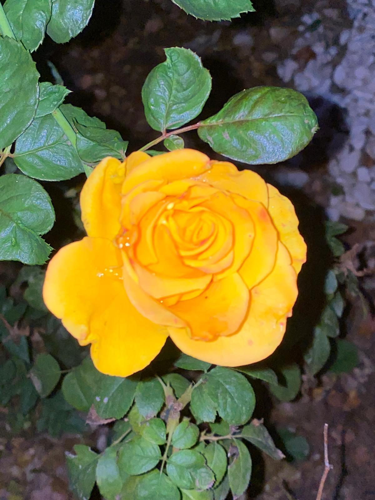 rosa amarilla Por Luis Fernando Heras Portillo