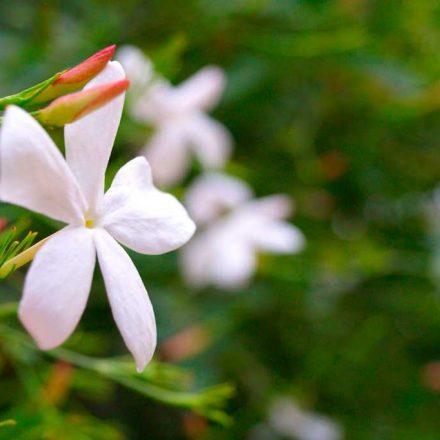 Naturaleza sabia: El aroma del jazmín tiene un efecto antiestrés