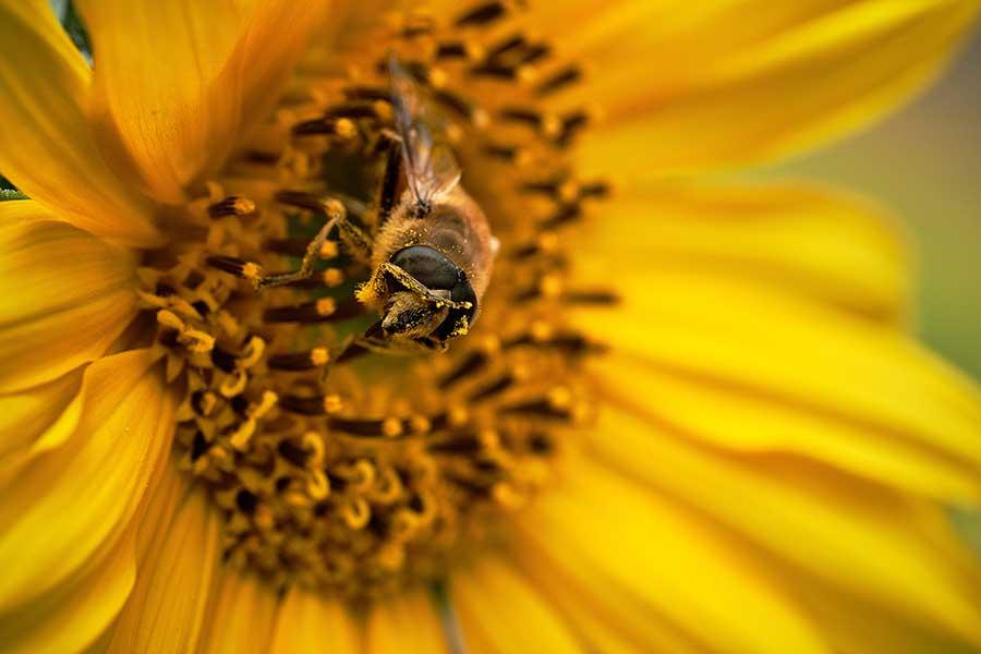 En Oaxaca, agricultores siembran girasoles para proteger a las abejas
