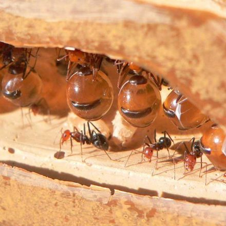 Hormiga mielera, la especie mexicana que produce un dulce néctar