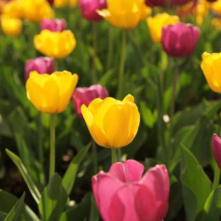 La impresionante historia de los tulipanes