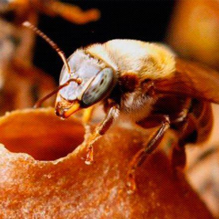 """Conoce a las """"abejas sagradas"""" de los mayas cuya miel es curativa"""