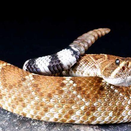 Día Internacional de las Serpientes: Sonora alberga el 20% del total de especies en México