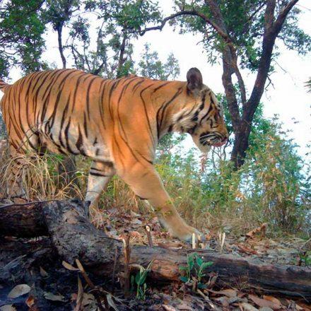 ¡Buenas noticias! Reportan avistamiento de tigres en Tailandia por primera vez en cuatro años