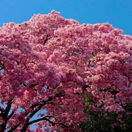Maculís, el árbol de follaje rosado que adorna las calles del sur de México