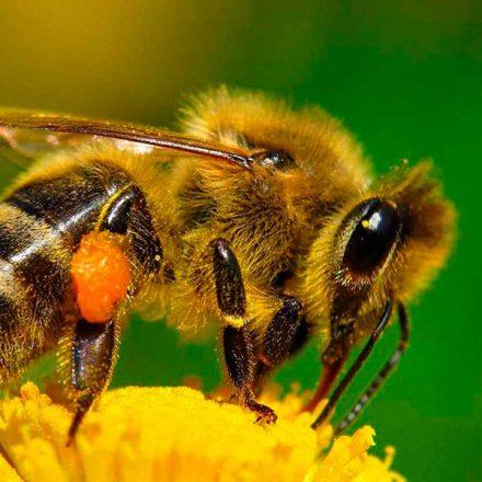 Molécula presente en veneno de abejas puede destruir células de cáncer de mama, revela estudio