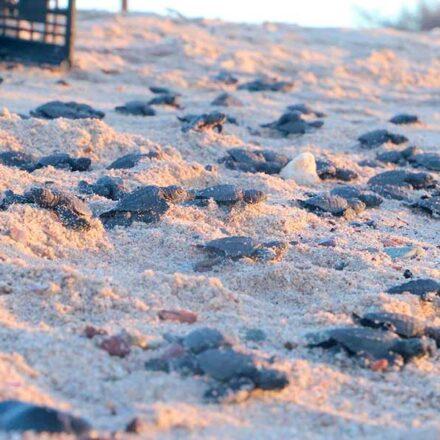 Celebran nacimiento histórico de tortugas golfinas en Sonora