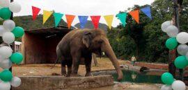 ¡Buenas noticias! Rescatan a Kavaan, el elefante más solitario del mundo; será trasladado a un santuario en Camboya