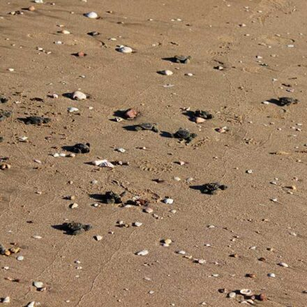 Ingresan al mar otras 30 crías de tortuga en Bahía de Kino
