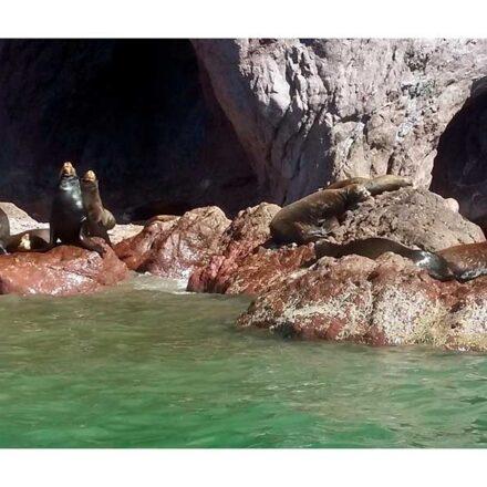 """Lobos marinos, los """"centinelas"""" del Mar de Cortés"""