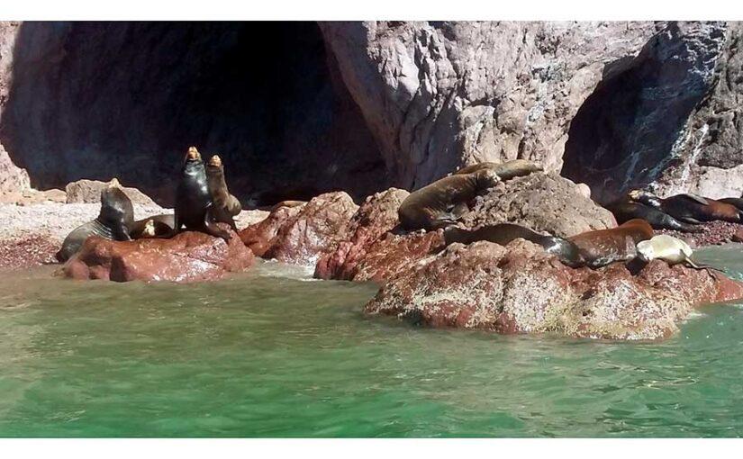 Lobos marinos Bahía de Kino