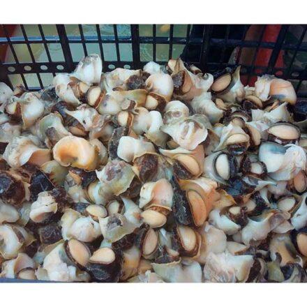 ¡Caracoles! Ecología reproductiva del caracol chino del Mar de Cortés