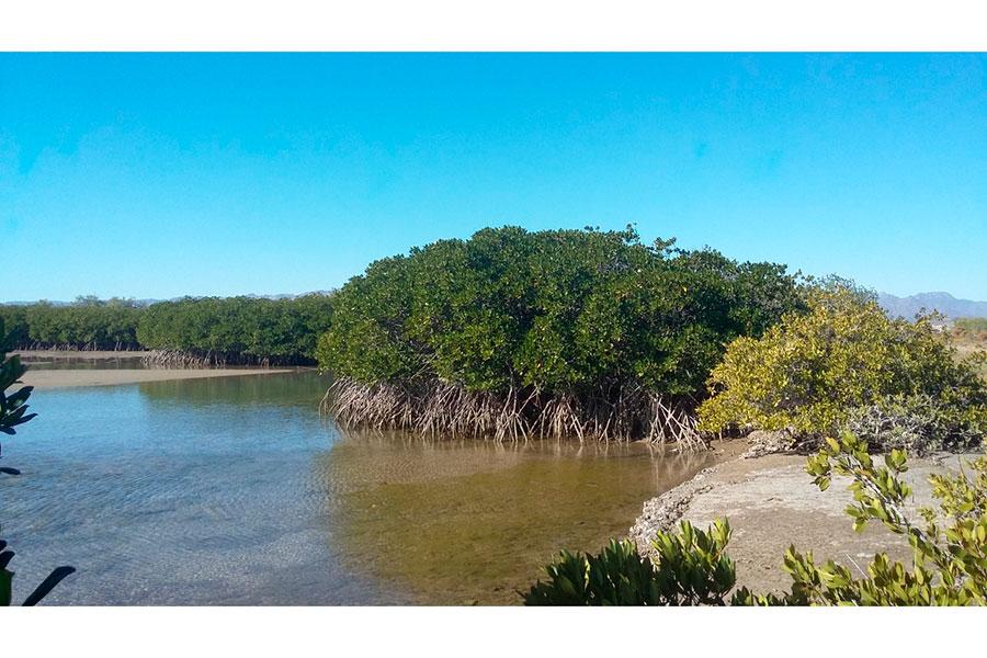 Hermosas imágenes de los manglares del Estero Santa Rosa, territorio Comca'ac en Bahía de Kino