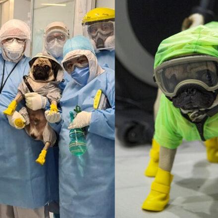 """Harley """"El tuerto"""", el perrito terapeuta que apoya al personal médico de México"""