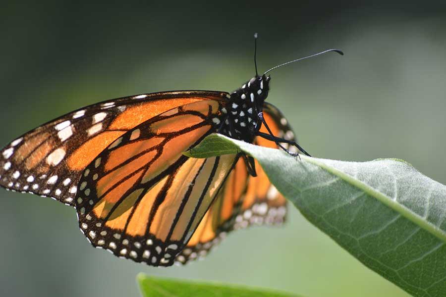 Población de mariposas monarca en santuarios de México se redujo 26% en 2020