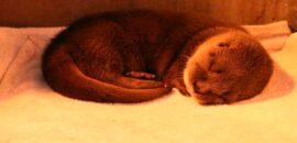 Nacen dos crías de nutrias en peligro de extinción en Guadalajara