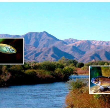 Biodiversidad en el desierto: Peces nativos de Sonora