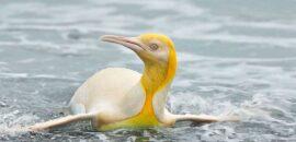 Avistan por primera vez a un raro pingüino amarillo en la Antártida