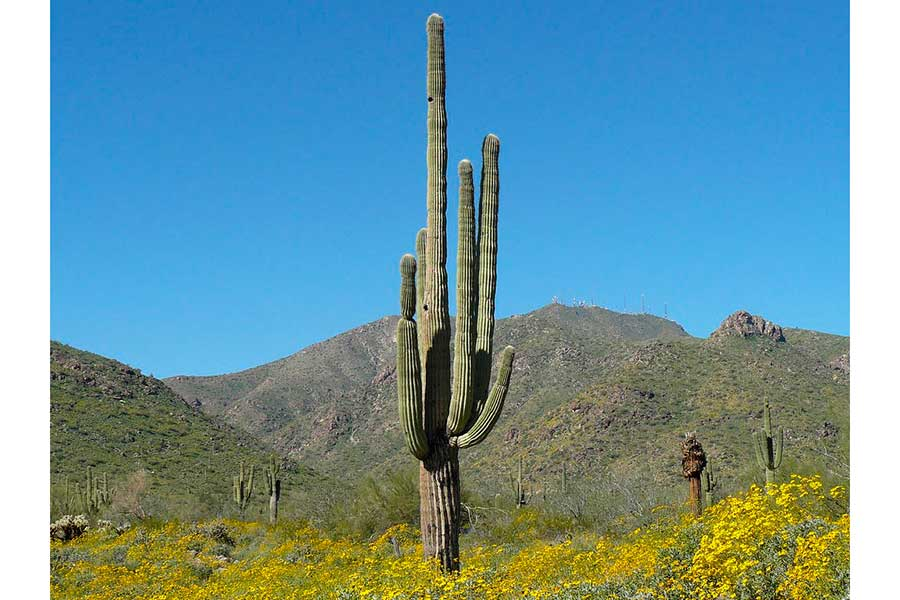 Sahuaro, el majestuoso cactus del Desierto de Sonora