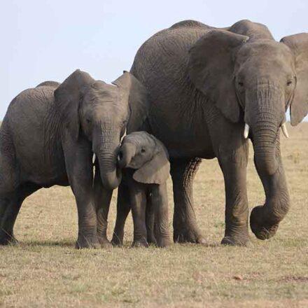 """Elefantes africanos ahora se encuentran en """"peligro crítico"""" de extinción"""