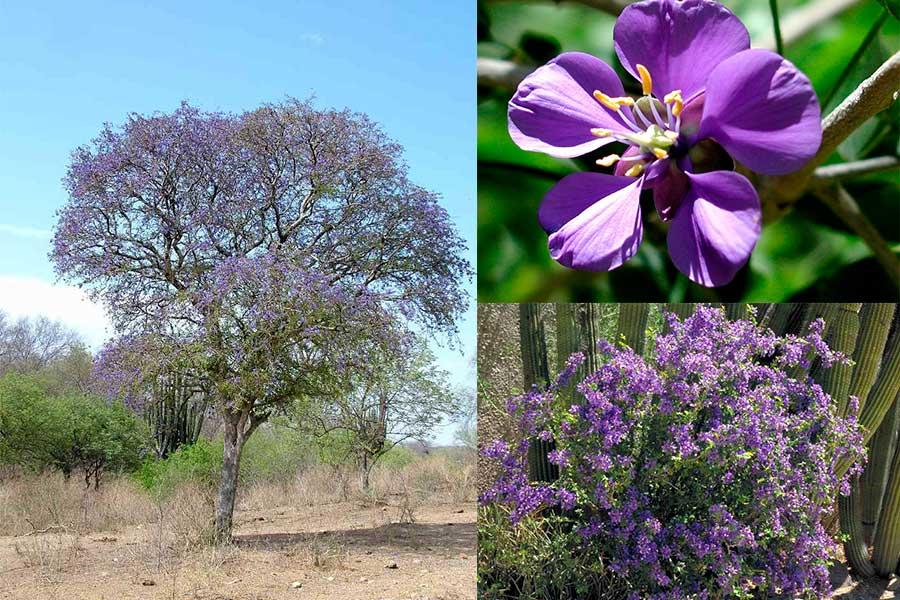 Guayacán, el árbol de hermosas flores violetas endémico de Sonora