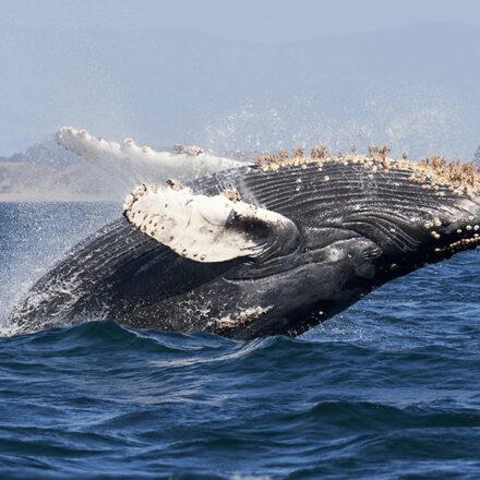 Cambio climático afecta la migración de ballenas jorobadas