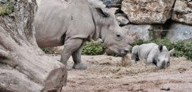 Población de rinocerontes en peligro de extinción crece gracias al confinamiento