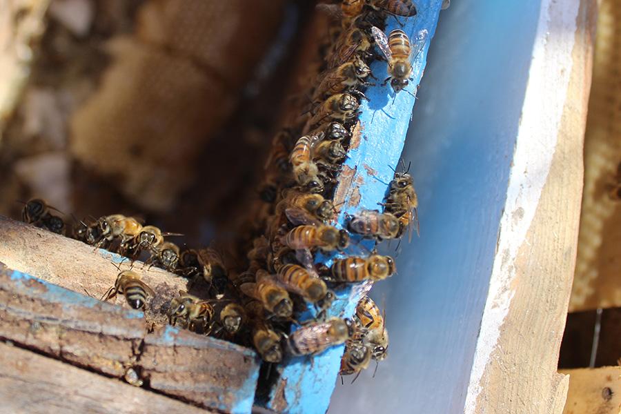Proyecto productivo en territorio Comca'ac busca repoblar hatos de abejas en la región