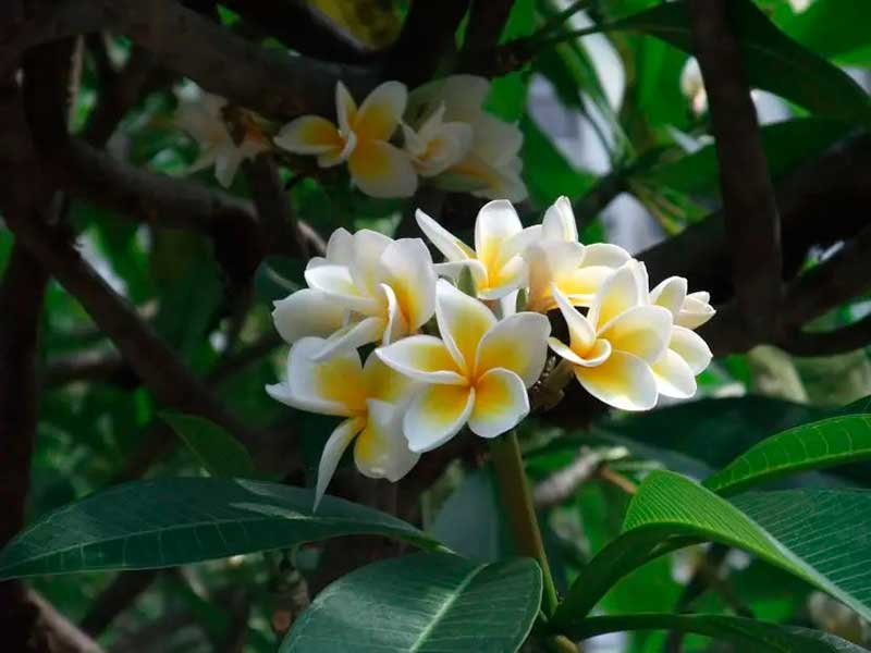Cacalosúchil (Plumeria rubra)
