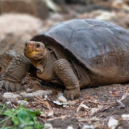 Confirman hallazgo de una tortuga que se creía extinta desde hace más de un siglo