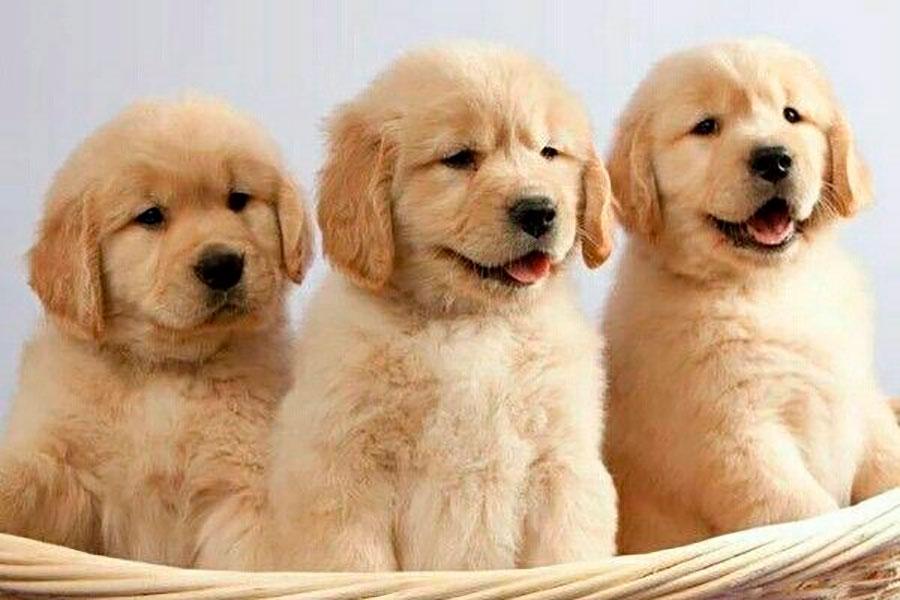 Los cachorros nacen listos para interactuar con los humanos, descubren investigadores