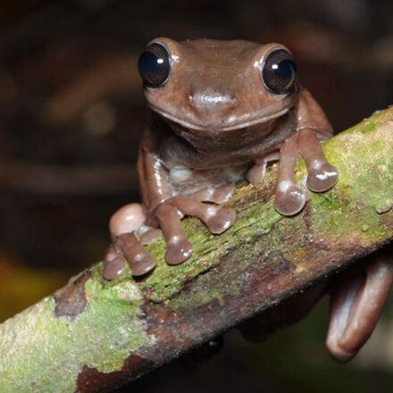 'Rana de chocolate', la nueva especie encontrada por científicos en Nueva Guinea