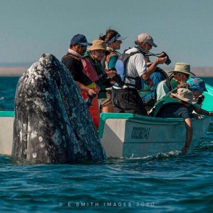 """Capturan fotografía de una ballena gris """"saludando"""" a un grupo de turistas en BCS"""