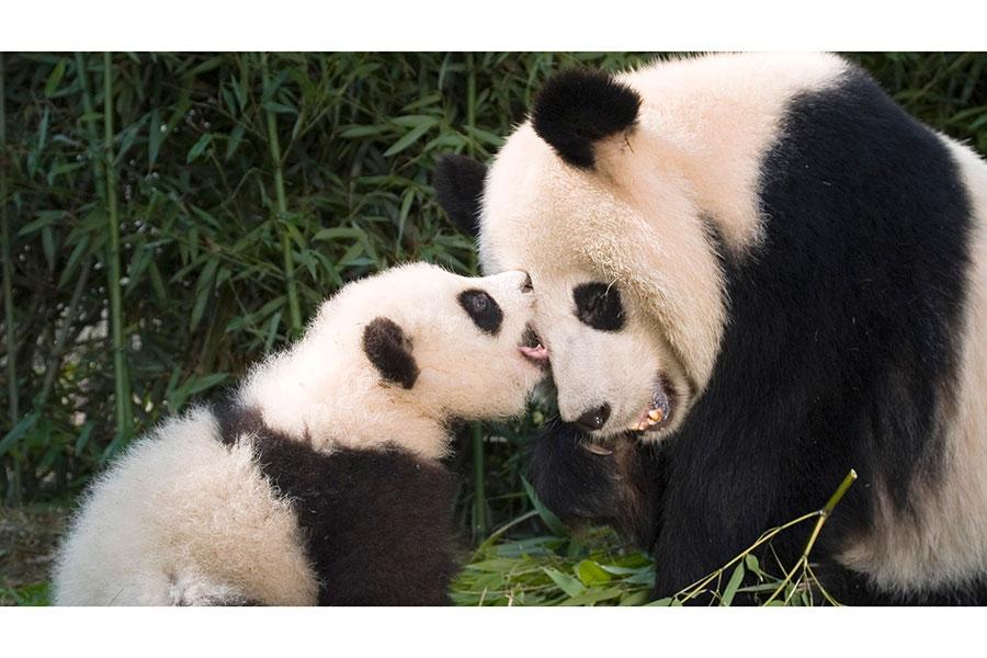 Los pandas ya no se encuentran en peligro de extinción gracias a los esfuerzos de conservación: China