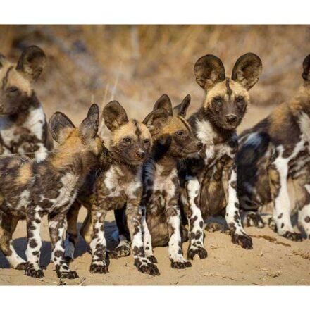 Perros salvajes africanos regresan a Malaui por primera vez en 20 años