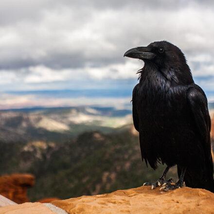 Naturaleza asombrosa: los cuervos comprenden el concepto de 'cero'