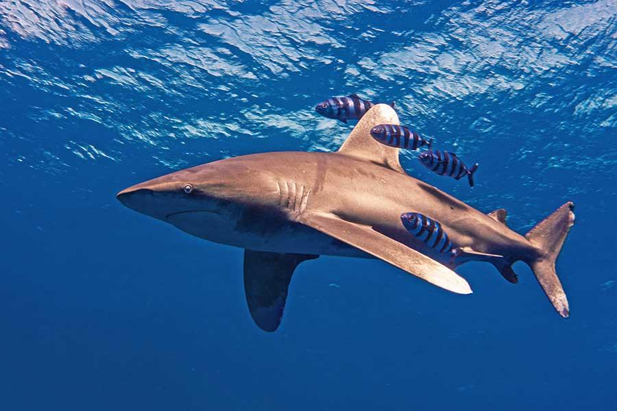 Más de un tercio de las especies de tiburones se encuentran en peligro de extinción