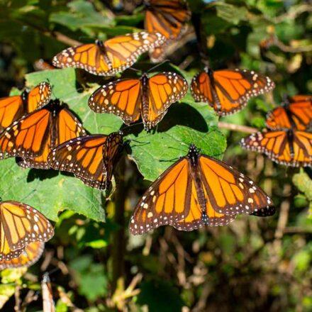 Al rescate de la mariposa monarca: comunidades reforestan bosques en Michoacán