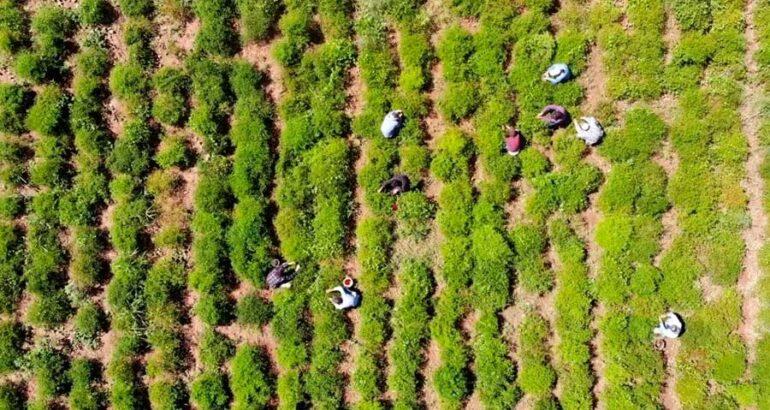 Chiltepín, fuente de empleo y esperanza de los habitantes del Río Sonora