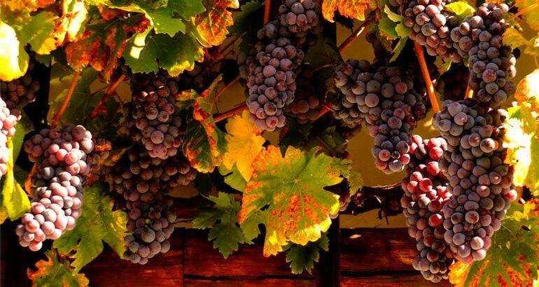 La vid más antigua del mundo existe desde 1570 y aún produce uvas